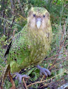 Kakapoo